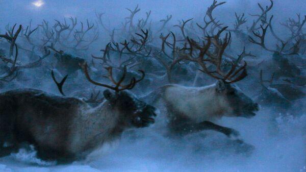 Ученые выяснили, как глобальное потепление повлияет на северных оленей