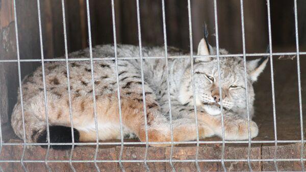 Рысь, которую обнаружили в парке Зеленограда привязанной к дереву. 26 февраля 2018