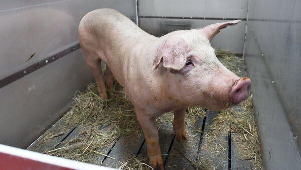 Свинья Роза перед операцией. Архивное фото