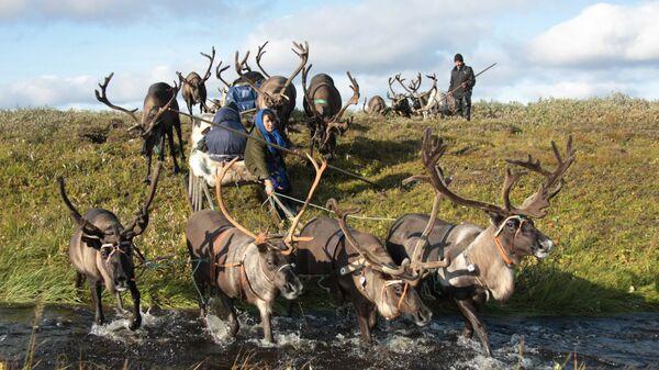 Ненка управляет упряжкой оленей в Канинской тундре, Ненецкий автономный округ