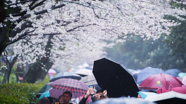 Зимняя вишня. В Японии названы даты цветения сакуры