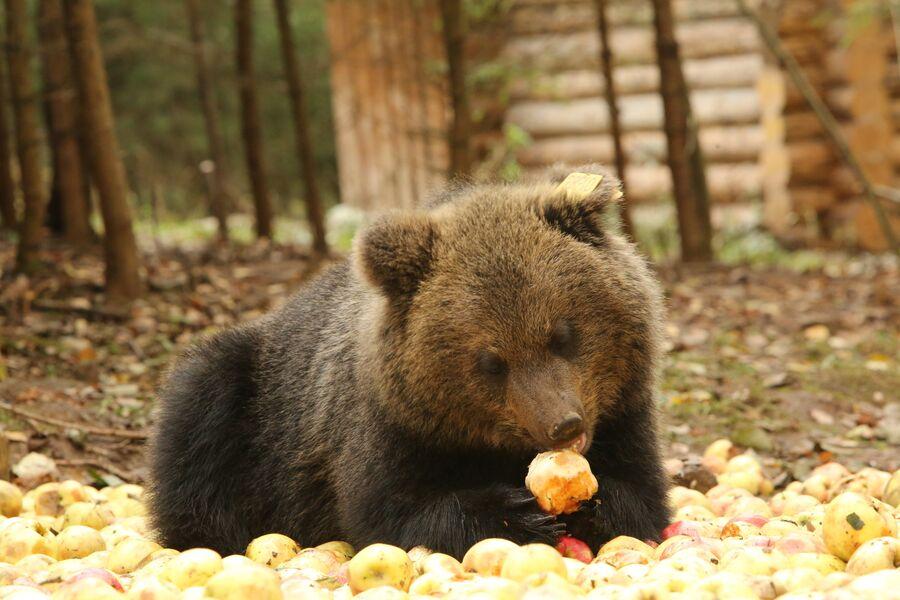 Медвежонок угощается яблоками, биостанция Чистый лес, деревня Бубоницы, Тверская область
