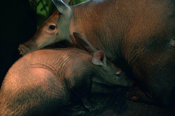 Самка трубкозуба по кличке Багги и ее детеныш, родившийся в Екатеринбургском зоопарке