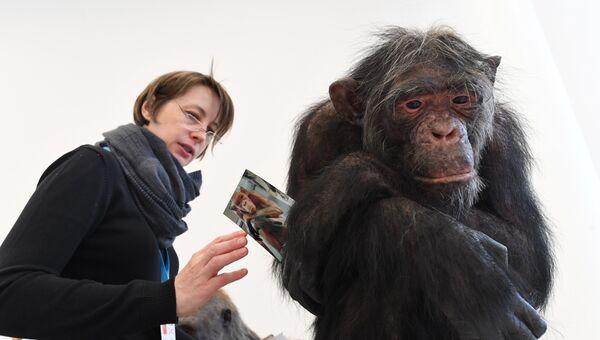 Показ скульптурной реконструкции шимпанзе в рамках фестиваля День недостающего звена: Homo naledi. 22 апреля 2018