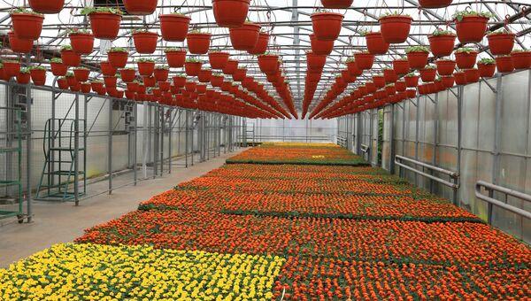 Выращивание цветов для городских клумб. Архивное фото