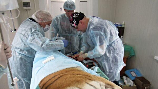 Операционная помощь тигрице в Приморском крае