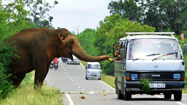 Прохожие кормят слона фруктами на дороге Катарагама-Буттала в Катарагаме, Шри-Ланка