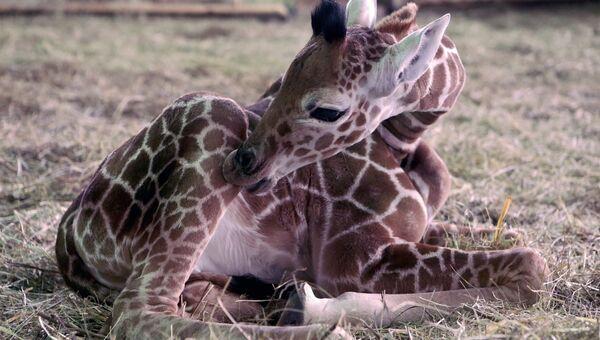 Детёныш жирафа в Калининградском зоопарке. Архивное фото