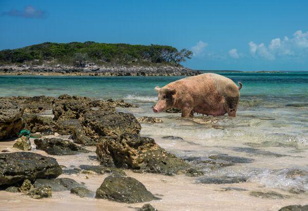 Остров свиней