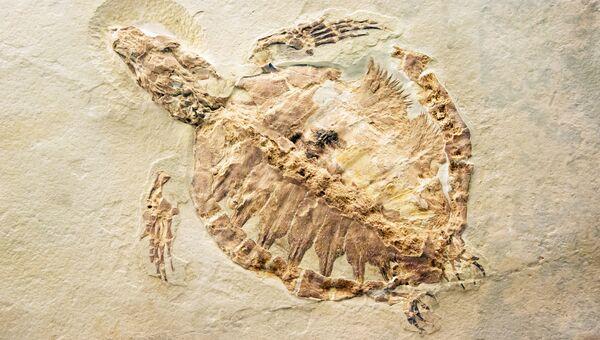 Останки ископаемой черепахи. Архивное фото