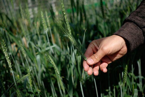 Цветение пшеницы