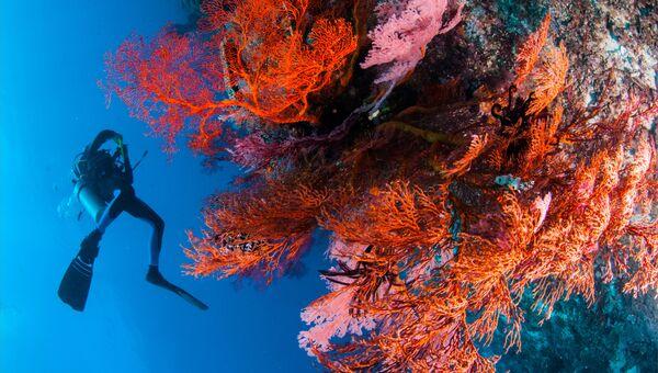 Дайвер и заросли коралла  Red Gorgonia