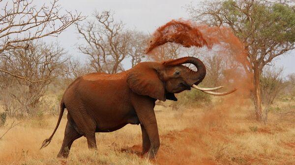 Африканский слон, Кения
