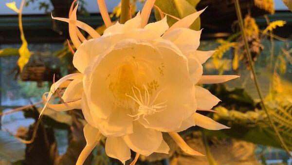 Редкий тропический кактус-эпифит Подлунная красавица расцвёл в Ботаническом саду МГУ Аптекарский огород в Москве