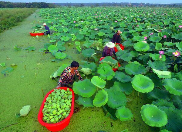 Люди собирают цветы лотоса в провинции Шаньдун в Китае.