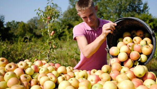 Сбор урожая яблок в Краснодарском крае. Архивное фото