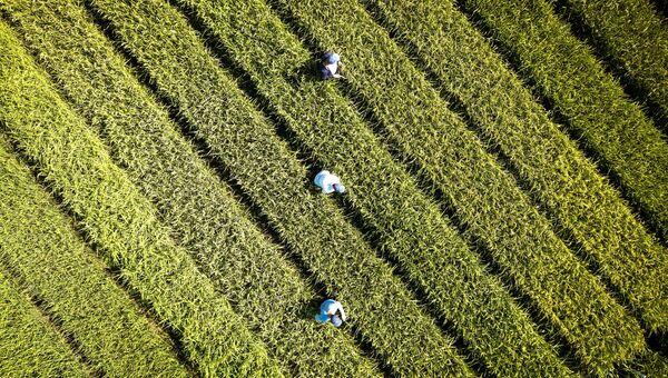 Выращивание риса в Краснодарском крае. Архивное фото