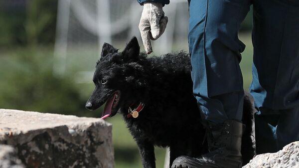 Сотрудник МЧС со служебной собакой во время тренировки в учебно-тренировочном центре пожарно-спасательной службы Москвы в деревне Апаринки