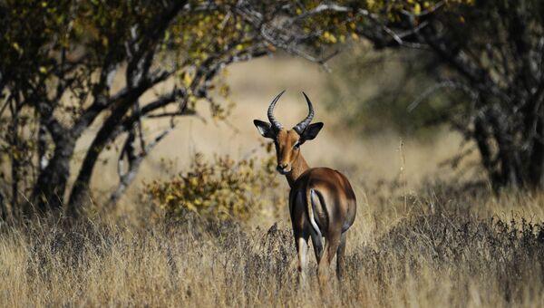 Импала в Национальном парке Крюгера в ЮАР