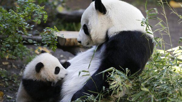 Панды в зоопарке Сан-Диего