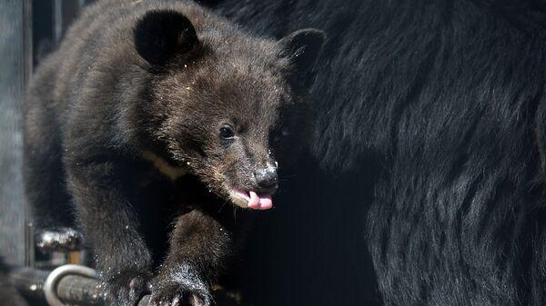 Медведица усыновила осиротевшего медвежонка в заказнике на Камчатке