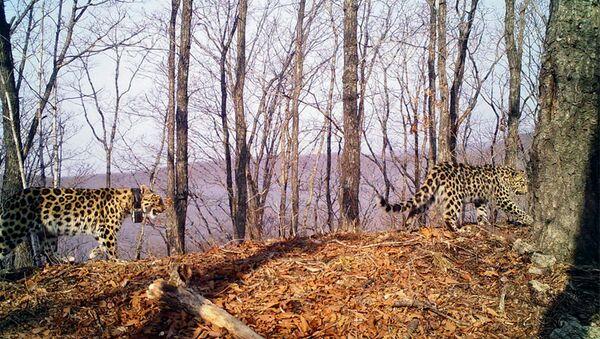 Фотоловушка засняла возрастную самку дальневосточного леопарда с котенком
