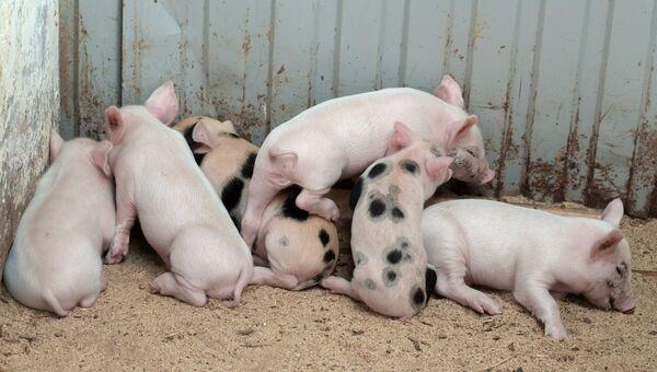 Поросята, родившиеся у свиньи Розы, которая забеременела после операции по лечению бесплодия с помощью уникального российского робота-хирурга, на послеоперационной площадке Пензенского ГАУ