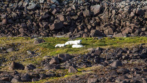 Изменение климата может оказать воздействие на популяцию белого медведя