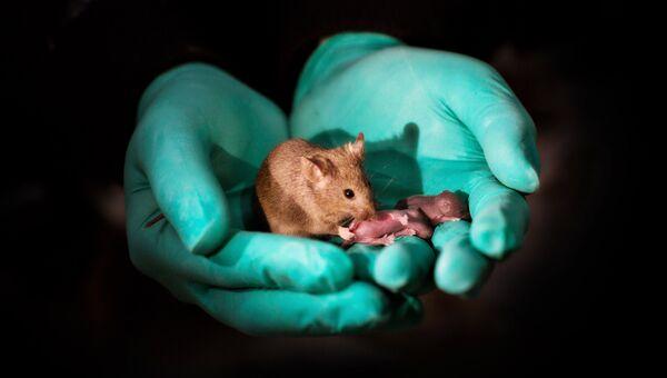 Мышь, имеющая двух мам, и ее потомство