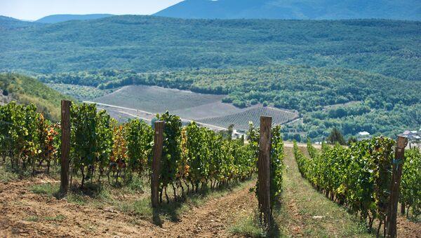 Виноградники винодельческого хозяйства UPPA Winery в селе Родное Балаклавского района Севастополя