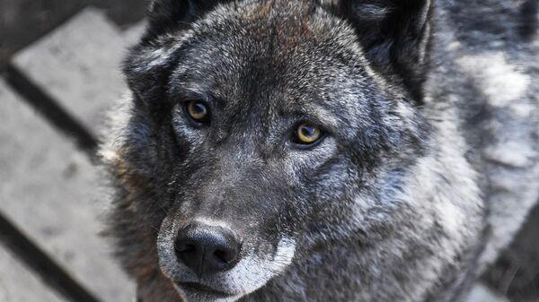 Канадский волк в вольере на территории зоопарка Садгород во Владивостоке