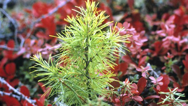 Растительность лесотундры