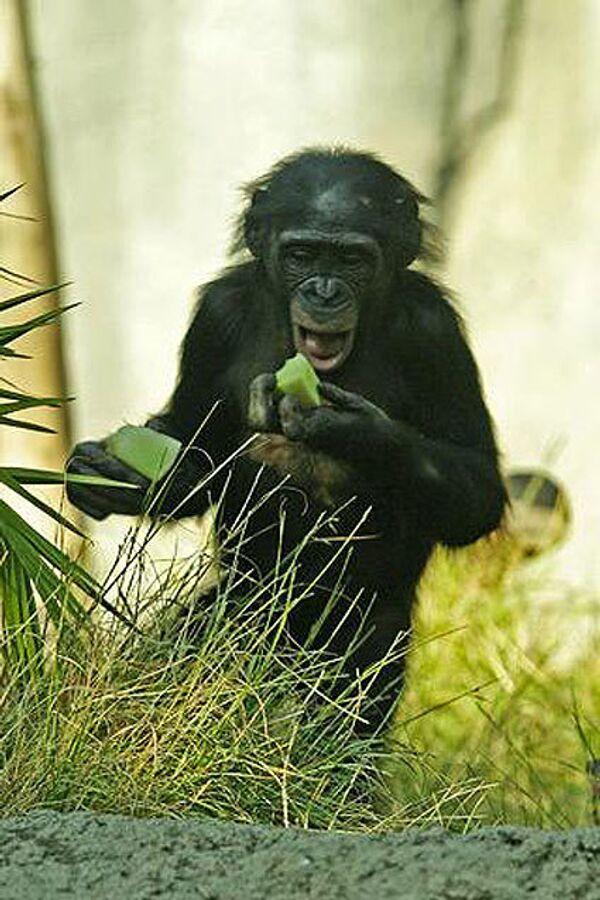 Карликовые шимпанзе, бонобо