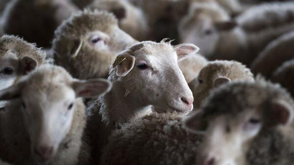 Овцы в загоне. Архивное фото