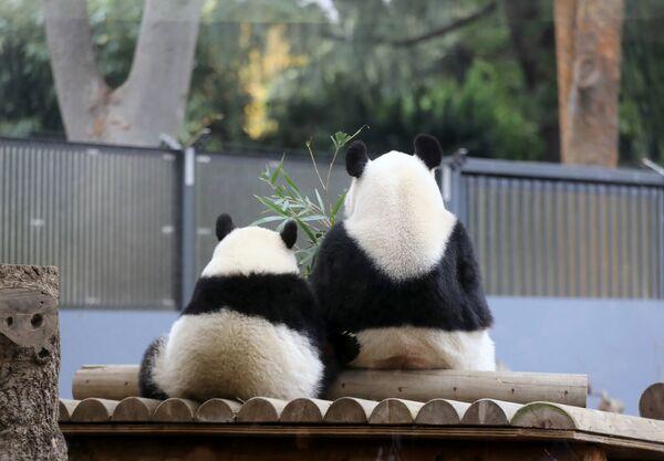 Панда Сян Сян сидит рядом со своей матерью Шин Шин в зоопарке Уэно в Токио, Япония