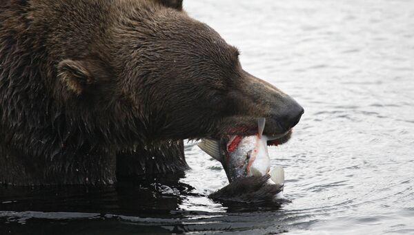 Медведь охотится на рыбу на Курильском озере в Южно-Камчатском заказнике