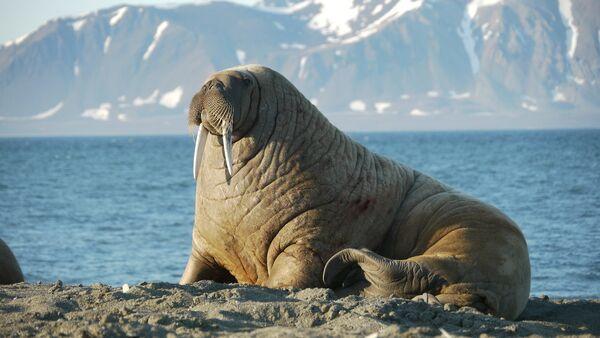 Атлантический морж на территории архипелага Земля Франца-Иосифа в Северном Ледовитом океане