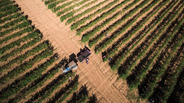 Сбор урожая винограда сорта Саперави на одном из винодельческих предприятий в Краснодарском крае. Архивное фото