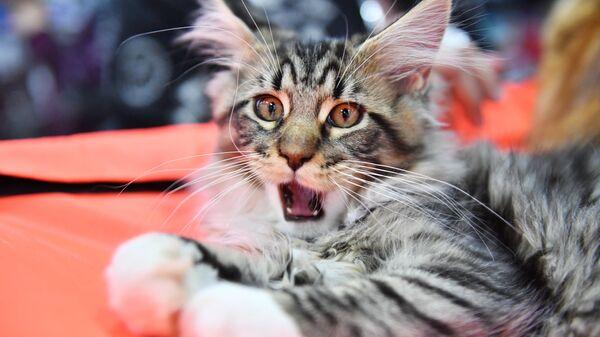 Кошка породы мейн-кун. Архивное фото