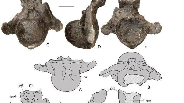 Позвонки гигантского динозавра, найденные на берегу Волги