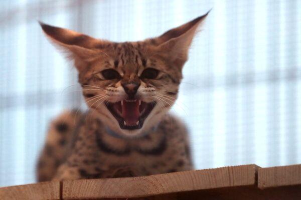 Котенок породы саванна F1 на выставке самых редких домашних кошек в Ботаническом саду МГУ Аптекарский огород