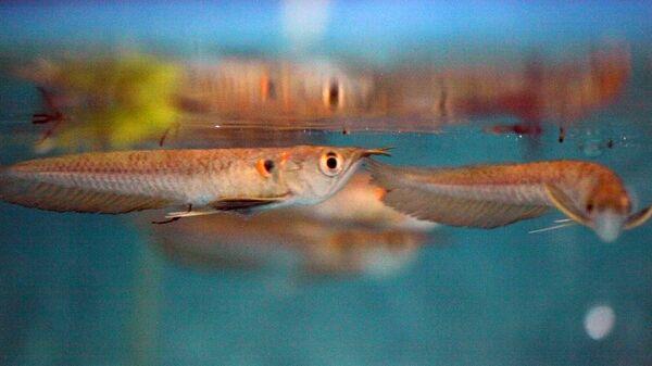 Рыба Арована с маскирующим пятном, похожем на третий глаз