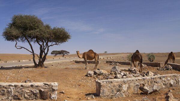 Верблюды в провинции Дофар, Оман