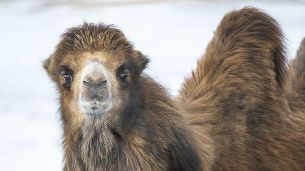 Верблюд в зимнем пейзаже