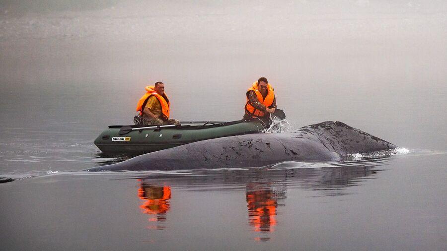 Шантарские острова. Спасение гренландского кита