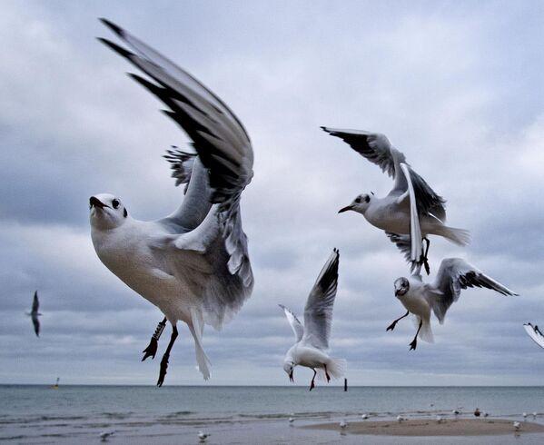 Чайки на берегу Балтийского моря в Тиммендорфер-Штранде