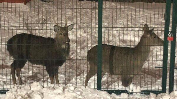 Пара пятнистых оленей в вольере одного из частных домов в Нижнем Новгороде