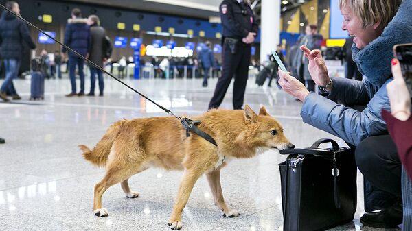 Служебная собака кинологической службы авиакомпании Аэрофлот