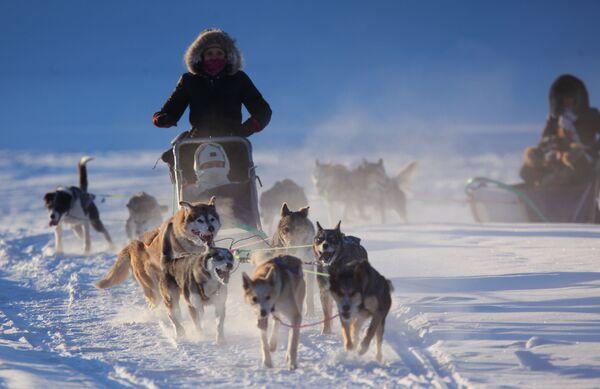 Прогулка на собаках хаски
