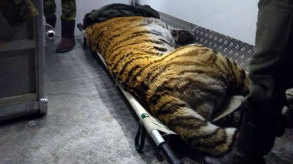 Амурский тигр, который начал наведываться на пограничную заставу в Уссурийске